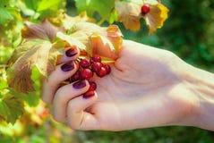 Κόκκινα μούρα στο χέρι κοριτσιών ` s στοκ φωτογραφία με δικαίωμα ελεύθερης χρήσης