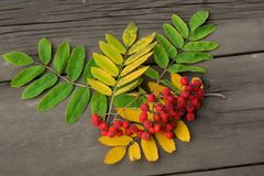 Κόκκινα μούρα της τέφρας βουνών με τα πράσινα και κίτρινα φύλλα σε μια DA στοκ εικόνες με δικαίωμα ελεύθερης χρήσης