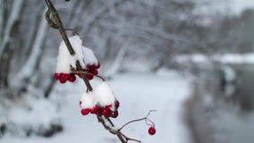 Κόκκινα μούρα της τέφρας βουνών που καλύπτονται με το χιόνι φιλμ μικρού μήκους