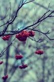 Κόκκινα μούρα της τέφρας βουνών σε ένα θολωμένο υπόβαθρο του δάσους φθινοπώρου Στοκ Εικόνες