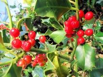 Κόκκινα μούρα της Holly και πράσινα φύλλα Στοκ Εικόνες