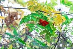 Κόκκινα μούρα του Rowan που ταλαντεύονται τον αέρα στοκ φωτογραφία με δικαίωμα ελεύθερης χρήσης