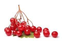 Κόκκινα μούρα του viburnum με το πράσινο φύλλο Στοκ Φωτογραφία