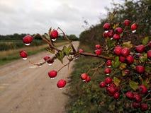 Κόκκινα μούρα φθινοπώρου που αστράφτουν με τις σταγόνες βροχής στοκ φωτογραφίες