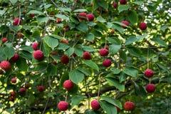 Κόκκινα μούρα φρούτων στο δέντρο Dogwood ενάντια στα πράσινα φύλλα στοκ εικόνα με δικαίωμα ελεύθερης χρήσης