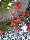 Κόκκινα μούρα Cotoneaster στο χιόνι στοκ φωτογραφία