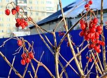 Κόκκινα μούρα viburnum που παγώνουν στην κινηματογράφηση σε πρώτο πλάνο κλάδων Στοκ Φωτογραφίες