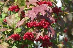 Κόκκινα μούρα viburnum Στοκ φωτογραφία με δικαίωμα ελεύθερης χρήσης