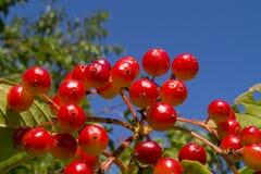 Κόκκινα μούρα viburnum Στοκ εικόνες με δικαίωμα ελεύθερης χρήσης