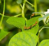 Κόκκινα μυρμήγκια και έντομο Στοκ Εικόνες