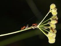 Κόκκινα μυρμήγκια και aphids Στοκ Εικόνες