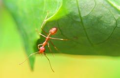 Κόκκινα μυρμήγκια στη φύση Στοκ Φωτογραφία
