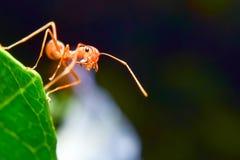 Κόκκινα μυρμήγκια Στοκ εικόνες με δικαίωμα ελεύθερης χρήσης