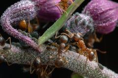 Κόκκινα μυρμήγκια, Myrmica και aphids στη ορχιδέα Στοκ Φωτογραφία