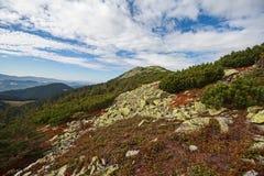 Κόκκινα μύρτιλλα και πράσινα δέντρα πεύκων στα βουνά Στοκ εικόνες με δικαίωμα ελεύθερης χρήσης
