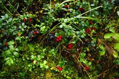 Κόκκινα μύρτιλλα στο δάσος taiga Στοκ εικόνες με δικαίωμα ελεύθερης χρήσης