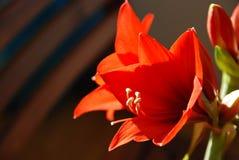 Κόκκινα να βουίξει λουλούδια κρίνων Στοκ εικόνες με δικαίωμα ελεύθερης χρήσης