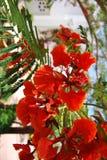 κόκκινα λουλούδια ακακιών στην Αίγυπτο Στοκ εικόνα με δικαίωμα ελεύθερης χρήσης