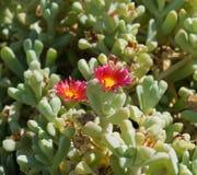 Κόκκινα λουλούδια ερήμων Στοκ εικόνα με δικαίωμα ελεύθερης χρήσης
