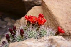 Κόκκινα λουλούδια κάκτων Στοκ Εικόνα