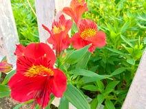 Κόκκινα λουλούδια κήπων Στοκ φωτογραφία με δικαίωμα ελεύθερης χρήσης