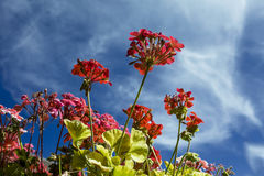 Κόκκινα λουλούδια και σύννεφα Στοκ Φωτογραφία