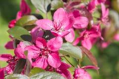 Κόκκινα λουλούδια μήλων καβουριών Στοκ εικόνα με δικαίωμα ελεύθερης χρήσης