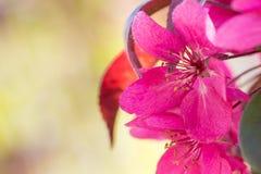Κόκκινα λουλούδια μήλων καβουριών Στοκ Φωτογραφία