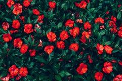 Κόκκινα λουλούδια με τα σταγονίδια της βροχής Στοκ εικόνες με δικαίωμα ελεύθερης χρήσης