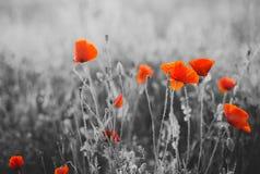Κόκκινα λουλούδια παπαρουνών για την ημέρα ενθύμησης