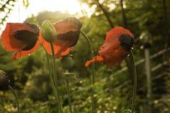 Κόκκινα λουλούδια παπαρουνών με τις σταγόνες βροχής Στοκ φωτογραφία με δικαίωμα ελεύθερης χρήσης