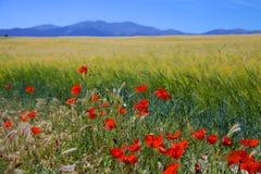 Κόκκινα λουλούδια παπαρουνών στον τομέα σίτου στοκ φωτογραφία με δικαίωμα ελεύθερης χρήσης