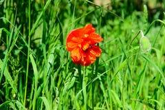 Κόκκινα λουλούδια παπαρουνών στον τομέα Στοκ φωτογραφίες με δικαίωμα ελεύθερης χρήσης