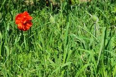 Κόκκινα λουλούδια παπαρουνών στον τομέα Στοκ Εικόνες