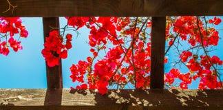 Κόκκινα λουλούδια που έχουν από ξύλινο trellis Στοκ φωτογραφία με δικαίωμα ελεύθερης χρήσης