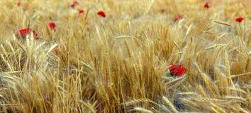 Κόκκινα λουλούδια στη μέση των αυτιών σίτου στον τομέα Στοκ Φωτογραφία
