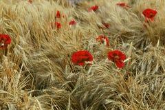 Κόκκινα λουλούδια στη μέση των αυτιών σίτου στον τομέα Στοκ εικόνα με δικαίωμα ελεύθερης χρήσης
