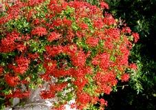 Κόκκινα λουλούδια στον ήλιο Στοκ φωτογραφίες με δικαίωμα ελεύθερης χρήσης