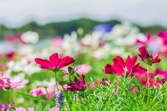 Κόκκινα λουλούδια στον κήπο Στοκ Εικόνες