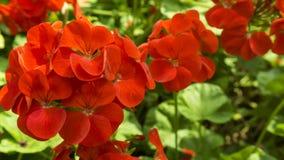Κόκκινα λουλούδια στον κήπο Στοκ Φωτογραφία