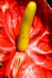 Κόκκινα λουλούδια Ταϊλανδός Στοκ φωτογραφίες με δικαίωμα ελεύθερης χρήσης