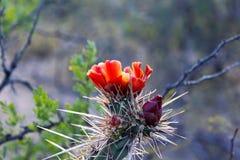 Κόκκινα λουλούδια του κάκτου ή Saguaro Στοκ Εικόνα