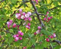Κόκκινα λουλούδια του μήλου Στοκ Φωτογραφίες