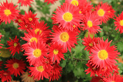 Κόκκινα λουλούδια φθινοπώρου Στοκ εικόνα με δικαίωμα ελεύθερης χρήσης