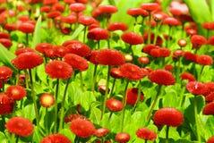 Κόκκινα λουλούδια χρυσάνθεμων Στοκ Εικόνες