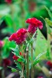 Κόκκινα λουλούδια δύο λουλούδια Στοκ Εικόνες
