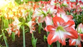 Κόκκινα λουλούδια Amaryllis Hippeastrum Στοκ Φωτογραφίες