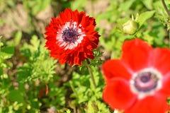 Κόκκινα λουλούδια Anemone Στοκ Εικόνα