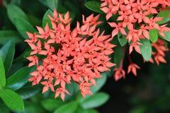 Κόκκινα λουλούδια Ixora στο πράσινο φύλλο στοκ εικόνες