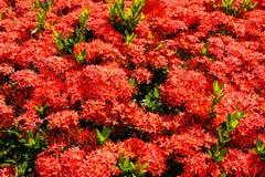 Κόκκινα λουλούδια Ixora Στοκ φωτογραφία με δικαίωμα ελεύθερης χρήσης